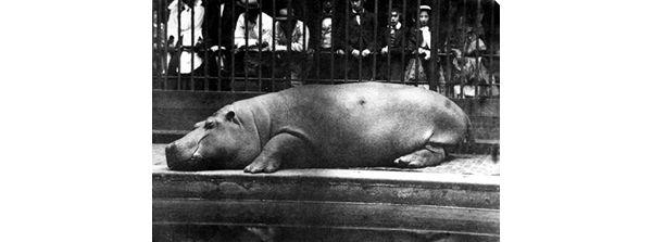 Obaysch, erstes Nilpferd des London Zoo, 1852. Foto: Don Juan Carlos Maria Isidro de Borbón [http://commons.wikimedia.org/wiki/File:Obaysch_1852.jpg?uselang=de Wikimedia Commons] ([http://de.wikipedia.org/wiki/Gemeinfreiheit#Public_Domain gemeinfrei])<br>Obaysch ist eine kleine Insel im Weißen Nil (Sudan). Sie war Geburtsort und Namensgeberin eines bis heute in London berühmten Flusspferdes  [[#Bildlegende|mehr...]]